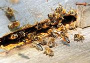 Куплю пчел